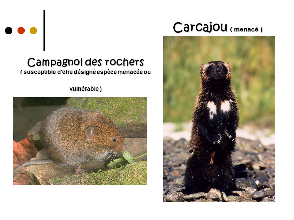 Campagnol des rochers ( susceptible d'être désigné espèce menacée ou vulnérable ) Carcajou ( menacé )