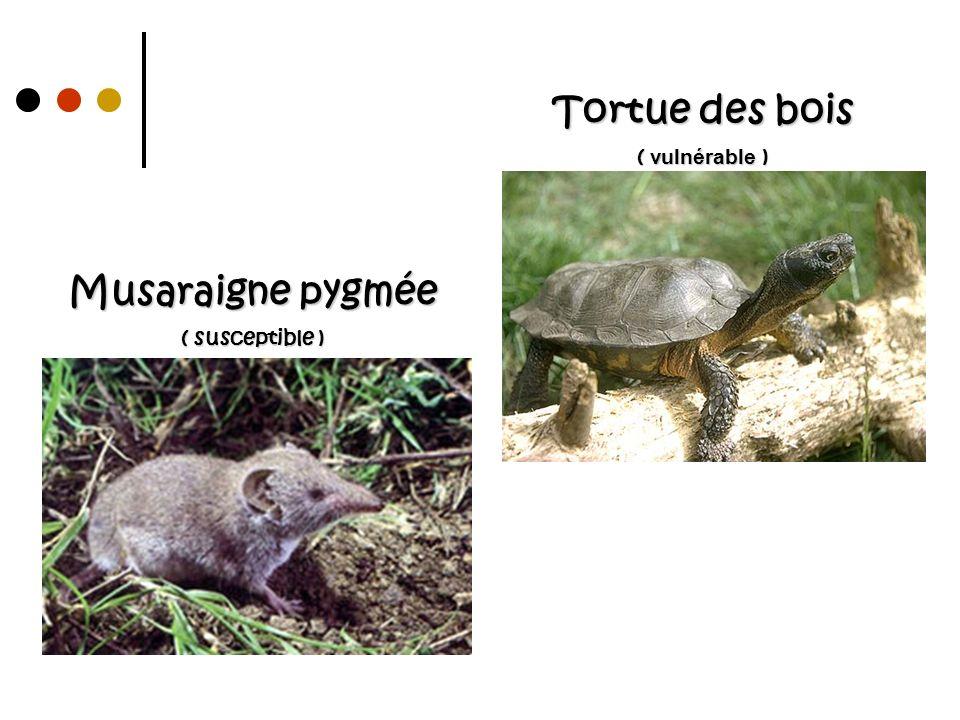 Musaraigne pygmée ( susceptible ) Tortue des bois ( vulnérable )