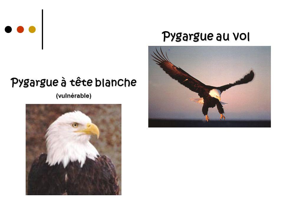 Pygargue au vol Pygargue à tête blanche (vulnérable)