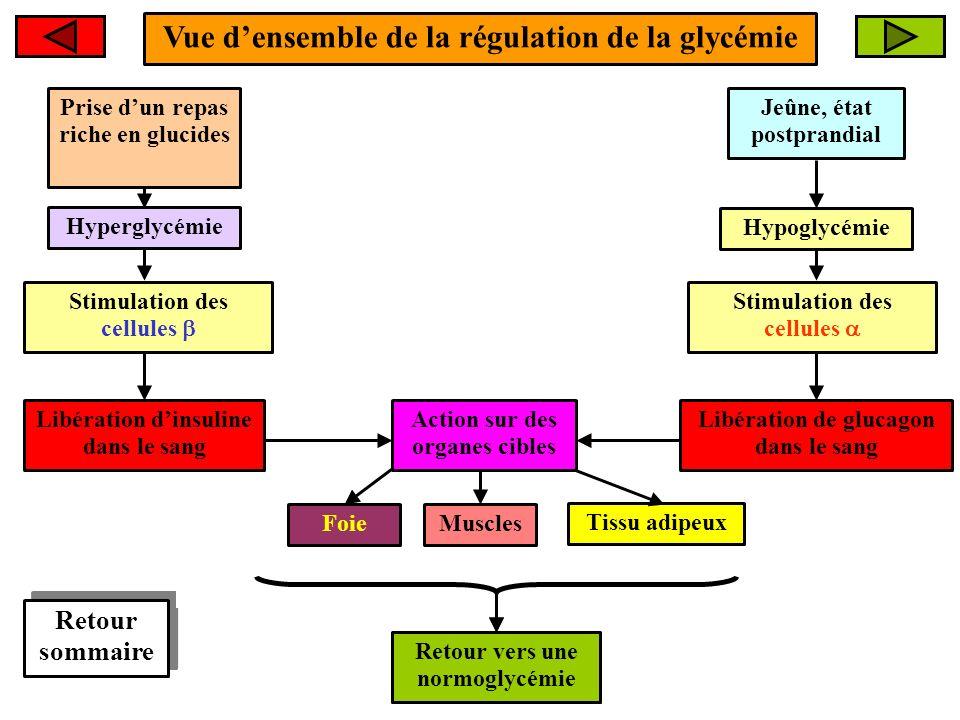 Vue densemble de la régulation de la glycémie Hyperglycémie Retour vers une normoglycémie FoieMuscles Tissu adipeux Retour sommaire Action sur des org