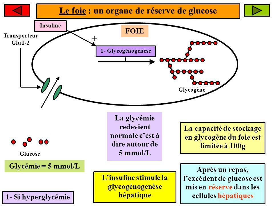 Le foie : un organe de réserve de glucose 1- Si hyperglycémie FOIE Glucose La glycémie redevient normale cest à dire autour de 5 mmol/L 1- Glycogénoge
