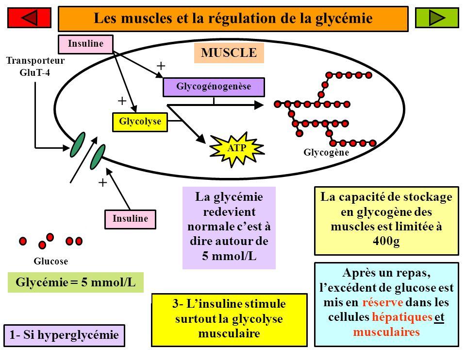 Les muscles et la régulation de la glycémie 1- Si hyperglycémie MUSCLE Glucose La glycémie redevient normale cest à dire autour de 5 mmol/L Glycogénog
