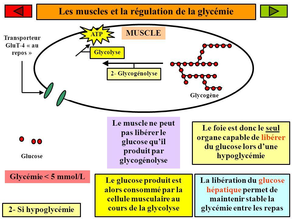 Les muscles et la régulation de la glycémie 2- Si hypoglycémie Le muscle ne peut pas libérer le glucose quil produit par glycogénolyse 2- Glycogénolys