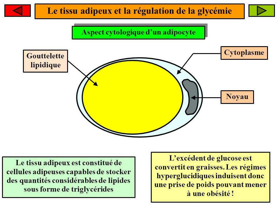 Le tissu adipeux et la régulation de la glycémie Aspect cytologique dun adipocyte Gouttelette lipidique Le tissu adipeux est constitué de cellules adi