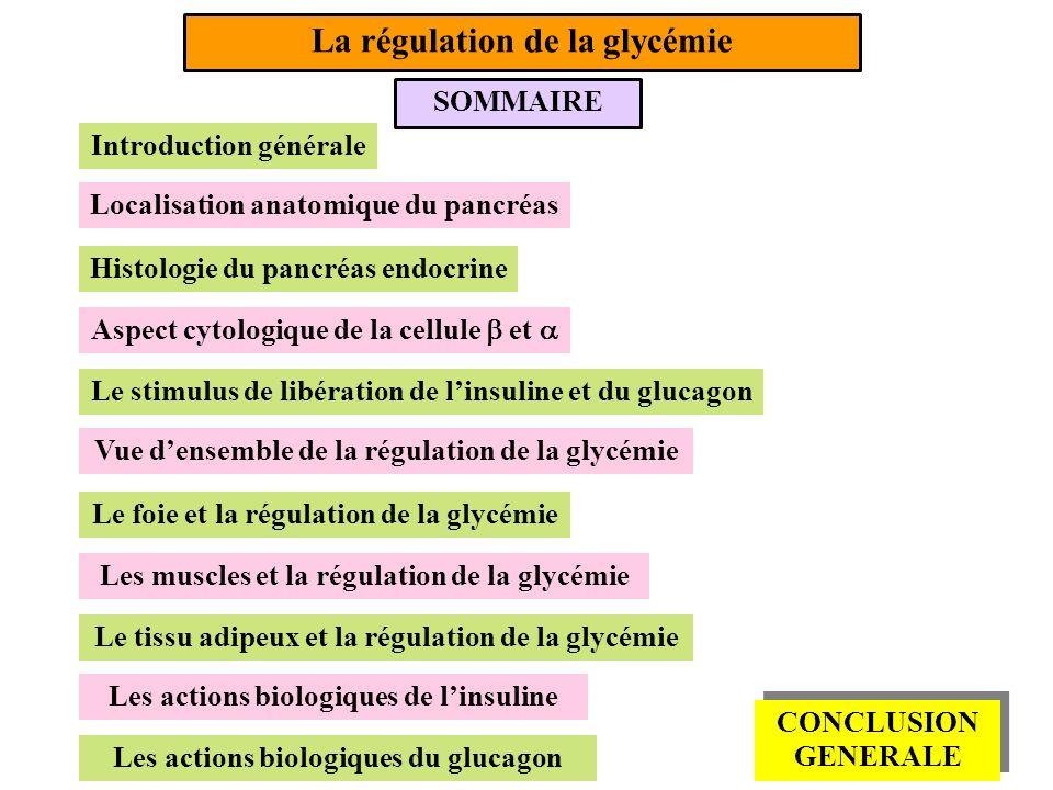 SOMMAIRE La régulation de la glycémie Introduction générale Localisation anatomique du pancréas Histologie du pancréas endocrine Aspect cytologique de