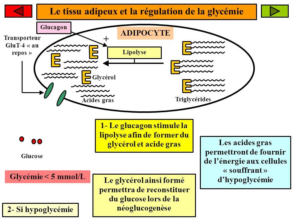 Le tissu adipeux et la régulation de la glycémie 2- Si hypoglycémie ADIPOCYTE Glycémie < 5 mmol/L Transporteur GluT-4 « au repos » 1- Le glucagon stim