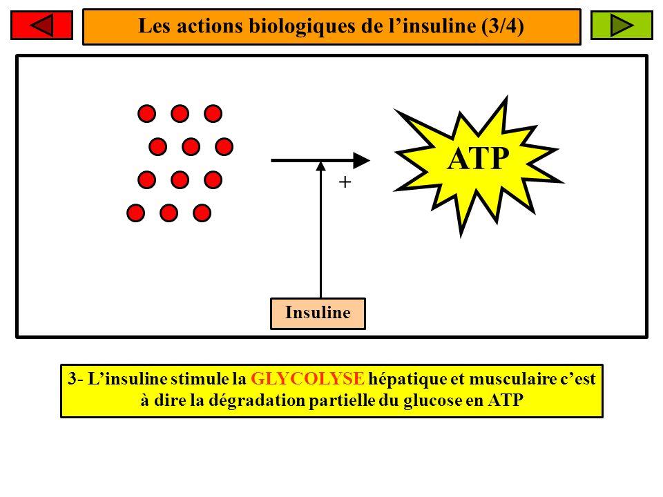 Les actions biologiques de linsuline (3/4) Insuline + ATP 3- Linsuline stimule la GLYCOLYSE hépatique et musculaire cest à dire la dégradation partiel