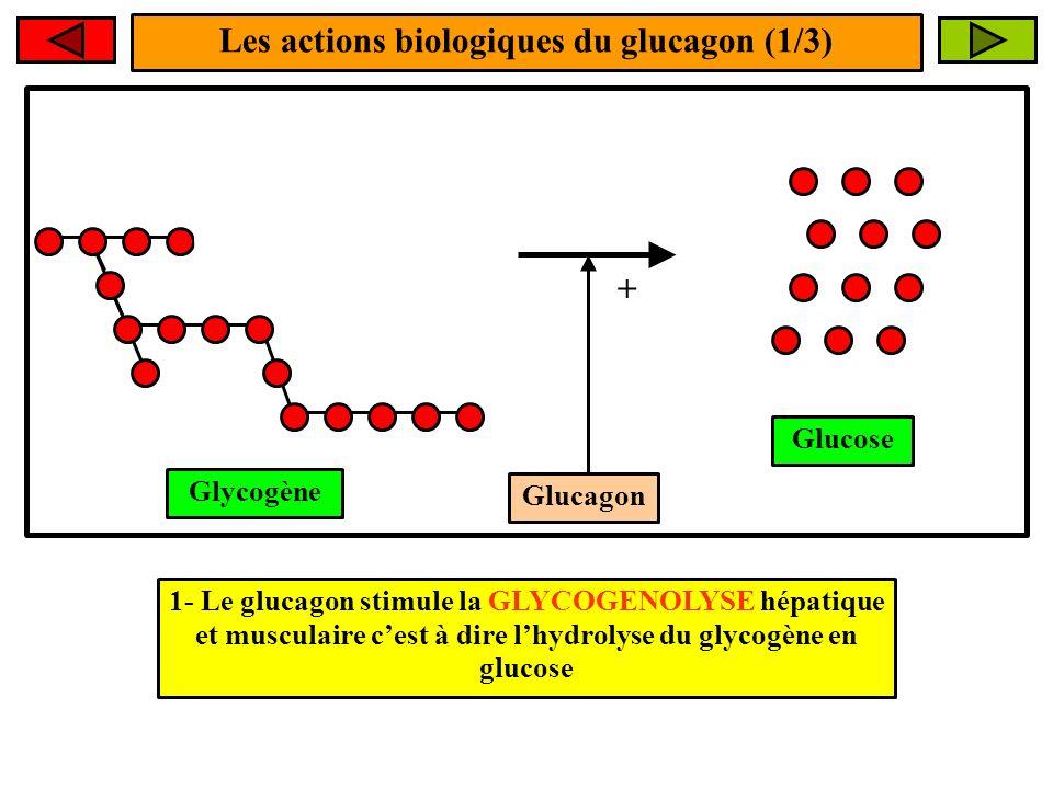 Les actions biologiques du glucagon (1/3) Glucagon + 1- Le glucagon stimule la GLYCOGENOLYSE hépatique et musculaire cest à dire lhydrolyse du glycogè