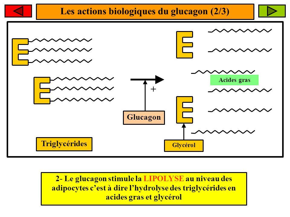 Les actions biologiques du glucagon (2/3) + 2- Le glucagon stimule la LIPOLYSE au niveau des adipocytes cest à dire lhydrolyse des triglycérides en ac