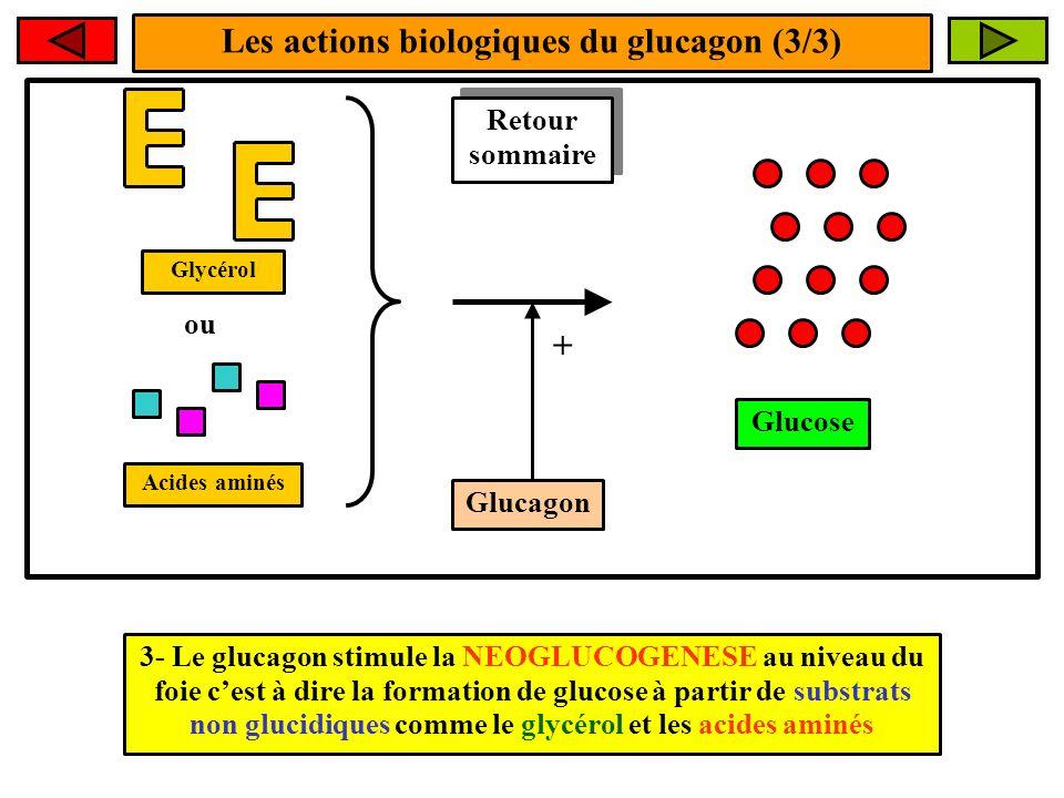 Les actions biologiques du glucagon (3/3) 3- Le glucagon stimule la NEOGLUCOGENESE au niveau du foie cest à dire la formation de glucose à partir de s