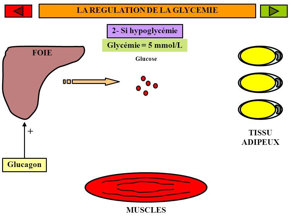FOIE MUSCLES TISSU ADIPEUX Glycémie < 5 mmol/L Glycémie = 5 mmol/L 2- Si hypoglycémie Glucose Glucagon + LA REGULATION DE LA GLYCEMIE