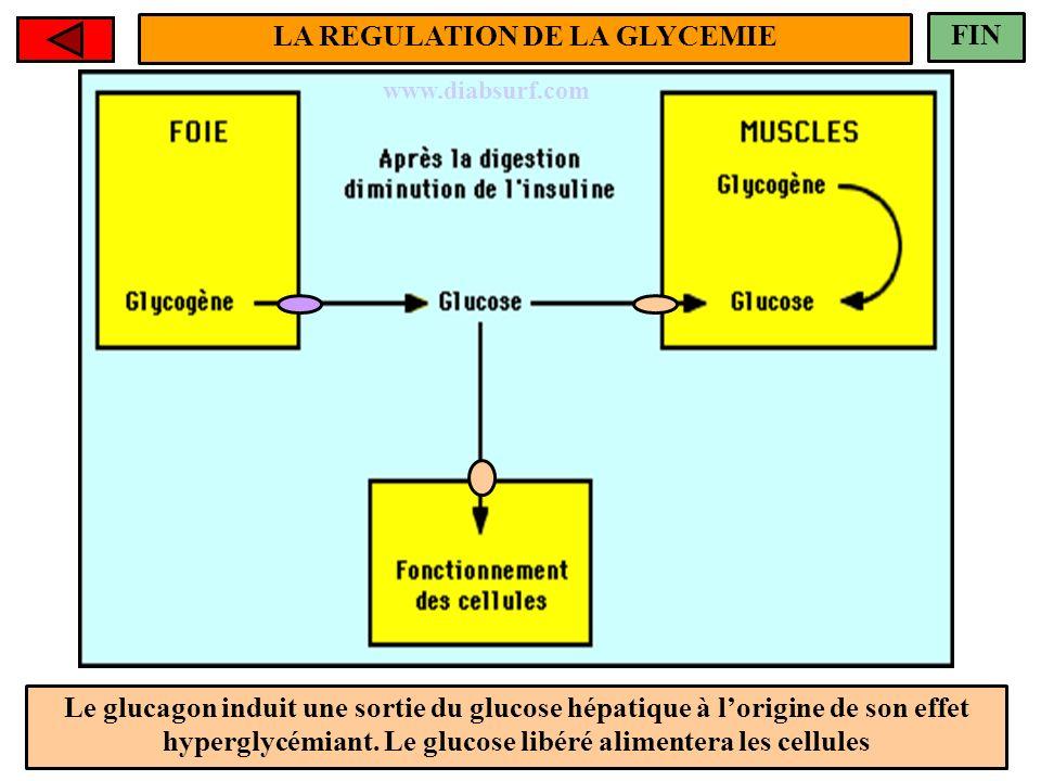 Le glucagon induit une sortie du glucose hépatique à lorigine de son effet hyperglycémiant. Le glucose libéré alimentera les cellules FIN www.diabsurf