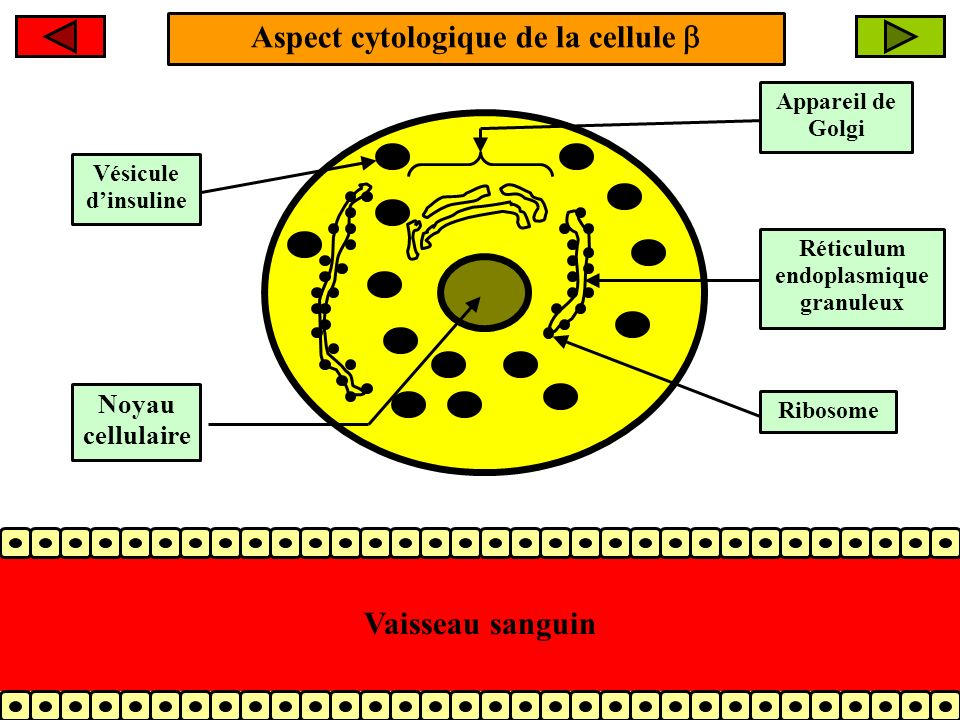 Aspect cytologique de la cellule Appareil de Golgi Réticulum endoplasmique granuleux Ribosome Vésicule dinsuline Vaisseau sanguin Noyau cellulaire