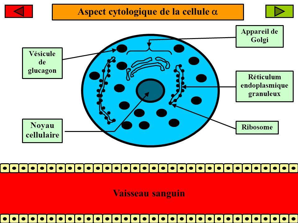 Les actions biologiques du glucagon (2/3) + 2- Le glucagon stimule la LIPOLYSE au niveau des adipocytes cest à dire lhydrolyse des triglycérides en acides gras et glycérol Triglycérides Glucagon Acides gras Glycérol