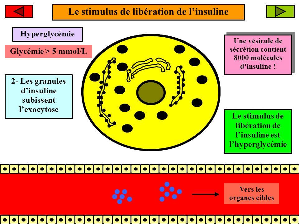 Le stimulus de libération de linsuline 2- Les granules dinsuline subissent lexocytose Molécules dinsuline Vers les organes cibles Une vésicule de sécr