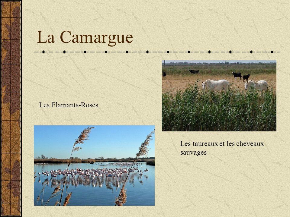 La Camargue Les Flamants-Roses Les taureaux et les cheveaux sauvages