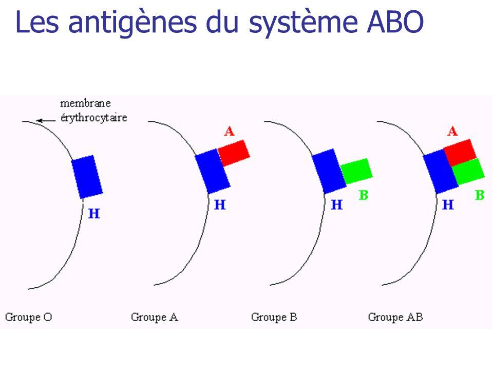 Les autres systèmes érythrocytaires Importance transfusionnelle car certains de leurs antigènes sont fortement immunisants Système KELL: lAntigène K est un puissant immunogène pour les sujets K- (91% de la population K-) Système Duffy : antigène Fya et Fyb Système MNS : antigène S et s Système Kidd : antigène Jka et JKb
