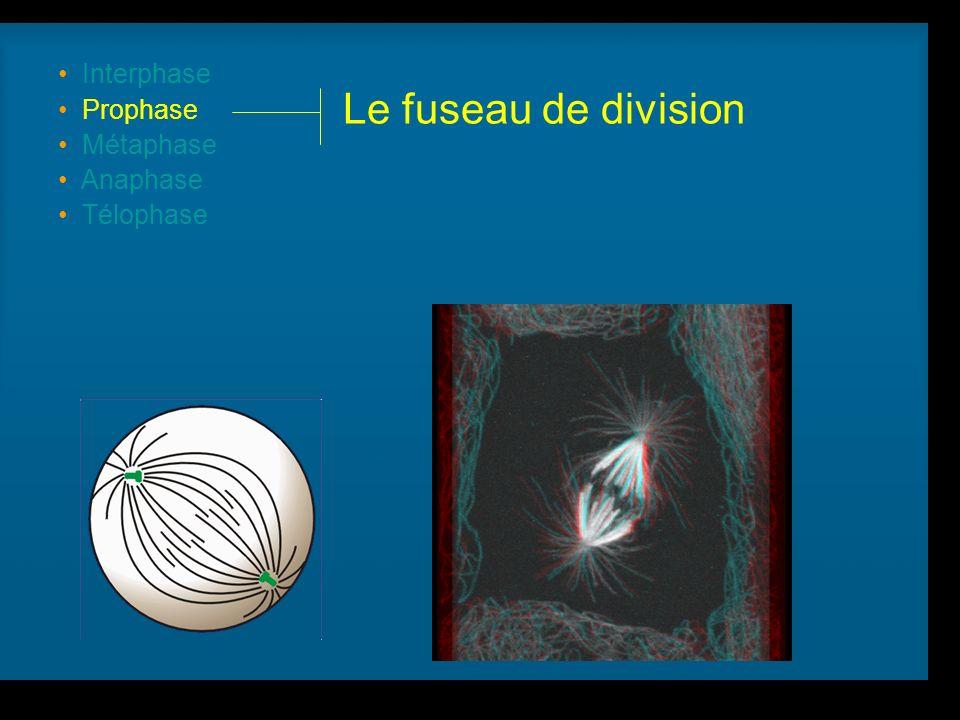 R Lacroix, biologie v.a03 Interphase Prophase Métaphase Anaphase Télophase Le fuseau de division