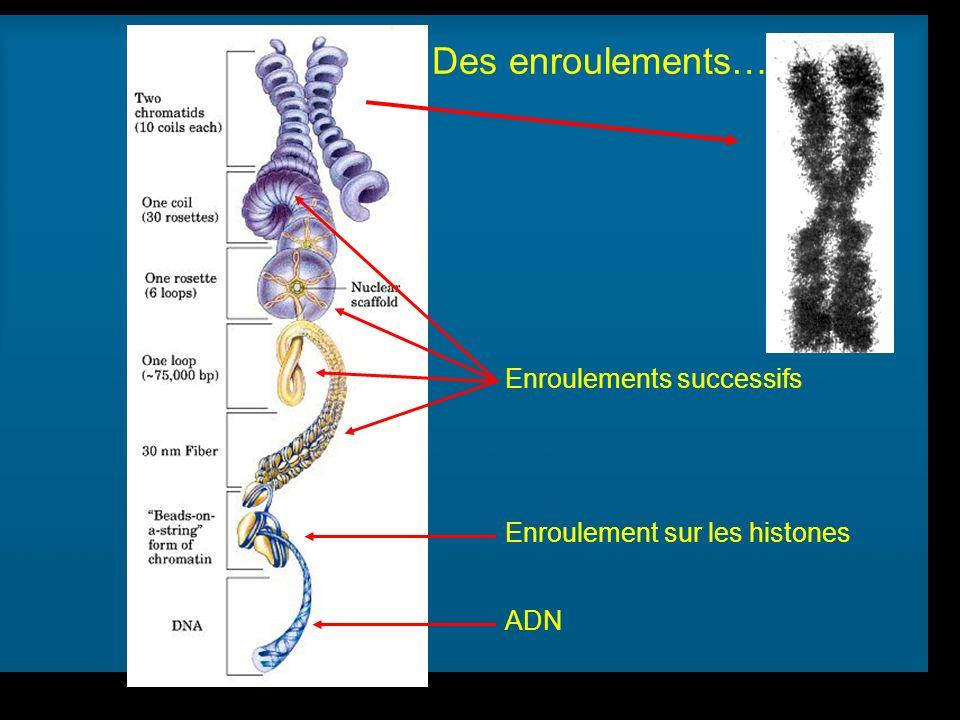 R Lacroix, biologie v.a03 Enroulements successifs ADN Enroulement sur les histones Des enroulements…