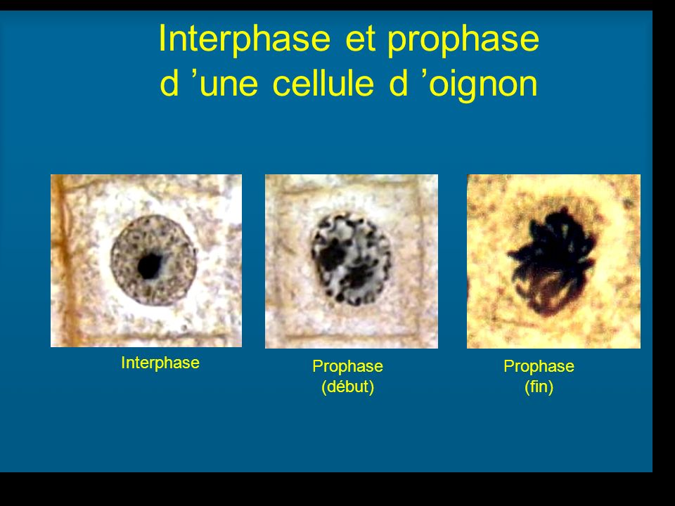 R Lacroix, biologie v.a03 Interphase Prophase (début) Prophase (fin) Interphase et prophase d une cellule d oignon