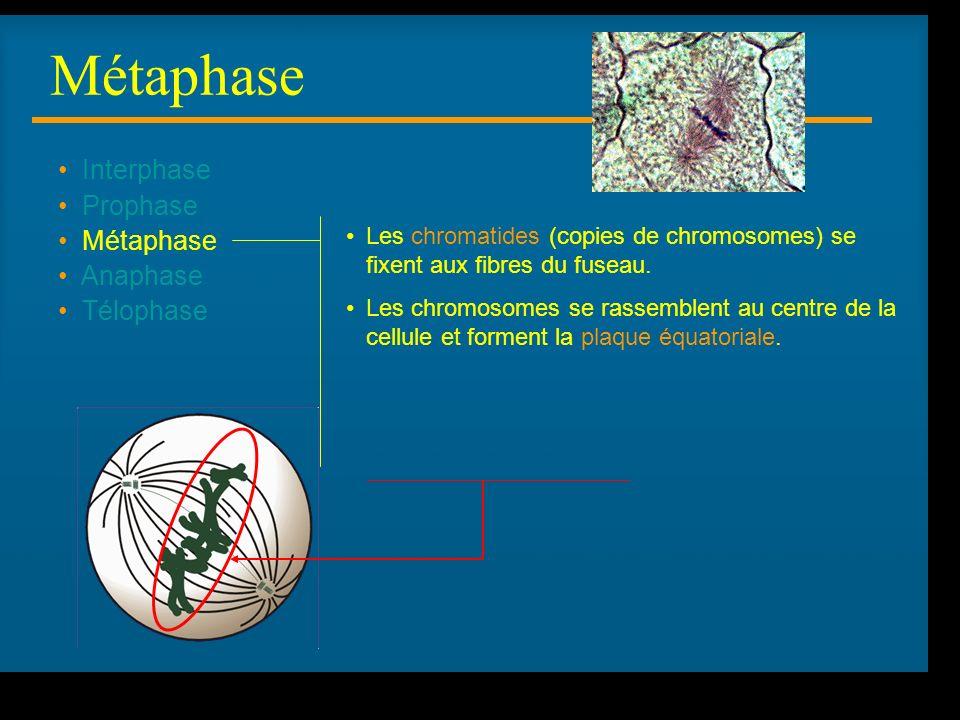 R Lacroix, biologie v.a03 Interphase Prophase Métaphase Anaphase Télophase Les chromatides (copies de chromosomes) se fixent aux fibres du fuseau.