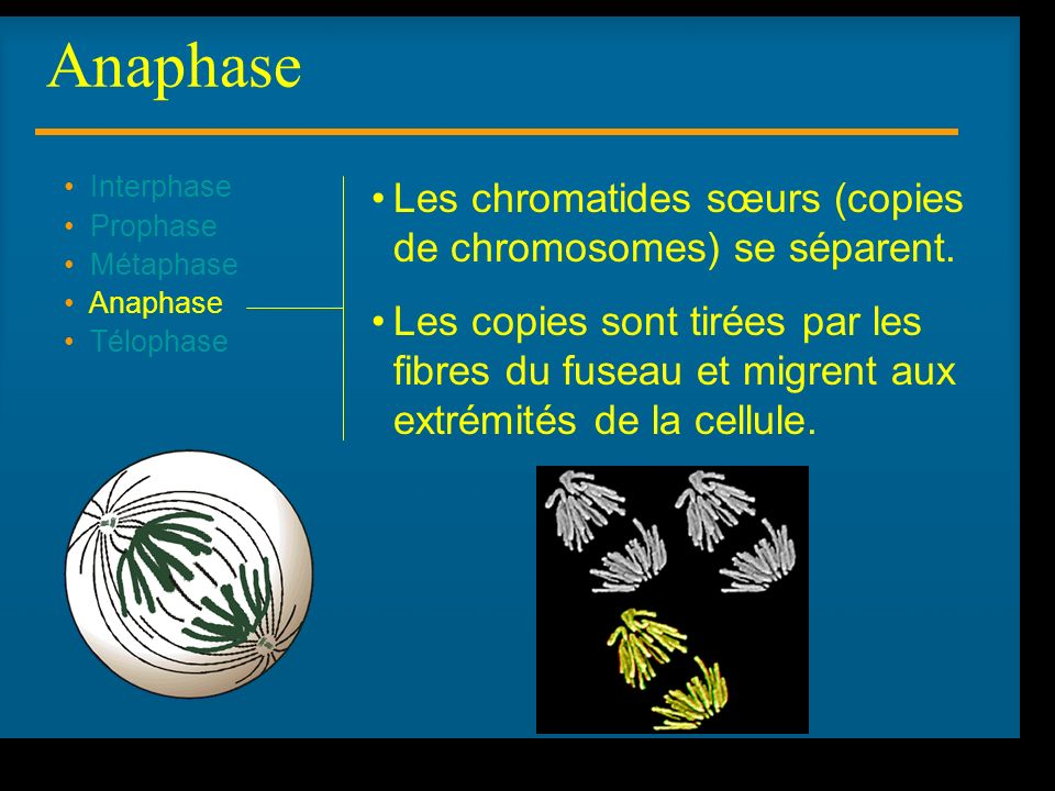 R Lacroix, biologie v.a03 Interphase Prophase Métaphase Anaphase Télophase Les chromatides sœurs (copies de chromosomes) se séparent. Les copies sont