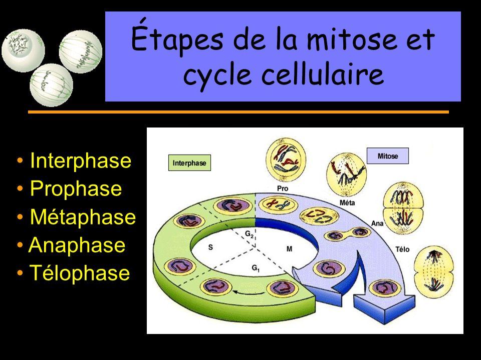 R Lacroix, biologie v.a03 Interphase Prophase Métaphase Anaphase Télophase Étapes de la mitose et cycle cellulaire