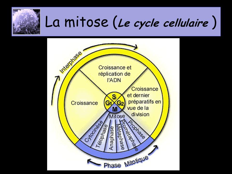 La mitose en résumé 1 cellule mère (2n) Réplication de lADN 2n chromosomes simples 2n chromosomes doubles 2 cellules filles (2n) 2n chromosomes simples