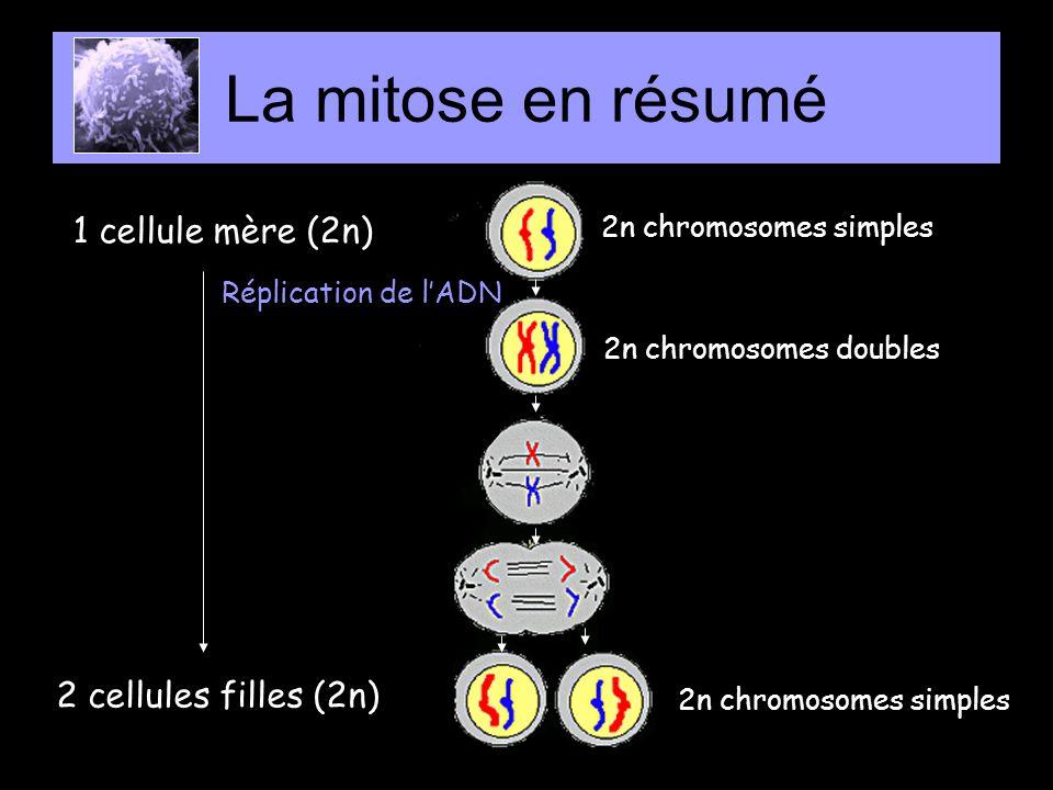1 cellule mère (2n) 4 cellules filles (1n) La méiose 1n chromosomes simples Entrecroisement ( crossing-over) Méiose 1 Méiose 2 Réplication de lADN 2n chromosomes simples 2n chromosomes doubles 1n chromosomes doubles