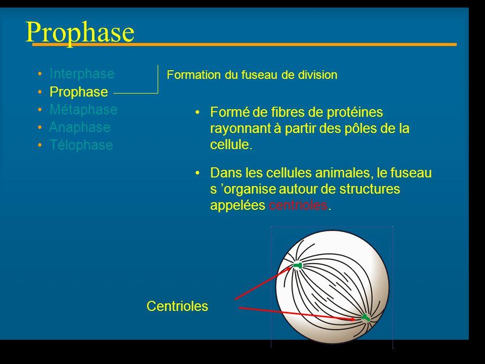 R Lacroix, biologie v.a03 Interphase Prophase Métaphase Anaphase Télophase Formation du fuseau de division Formé de fibres de protéines rayonnant à partir des pôles de la cellule.