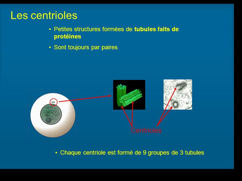 R Lacroix, biologie v.a03 Petites structures formées de tubules faits de protéines Sont toujours par paires Chaque centriole est formé de 9 groupes de 3 tubules Centrioles Les centrioles