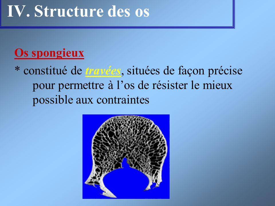 IV. Structure des os Os spongieux * constitué de travées, situées de façon précise pour permettre à los de résister le mieux possible aux contraintes