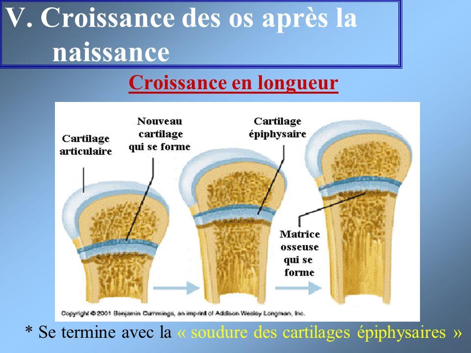 V. Croissance des os après la naissance Croissance en longueur * Se termine avec la « soudure des cartilages épiphysaires »