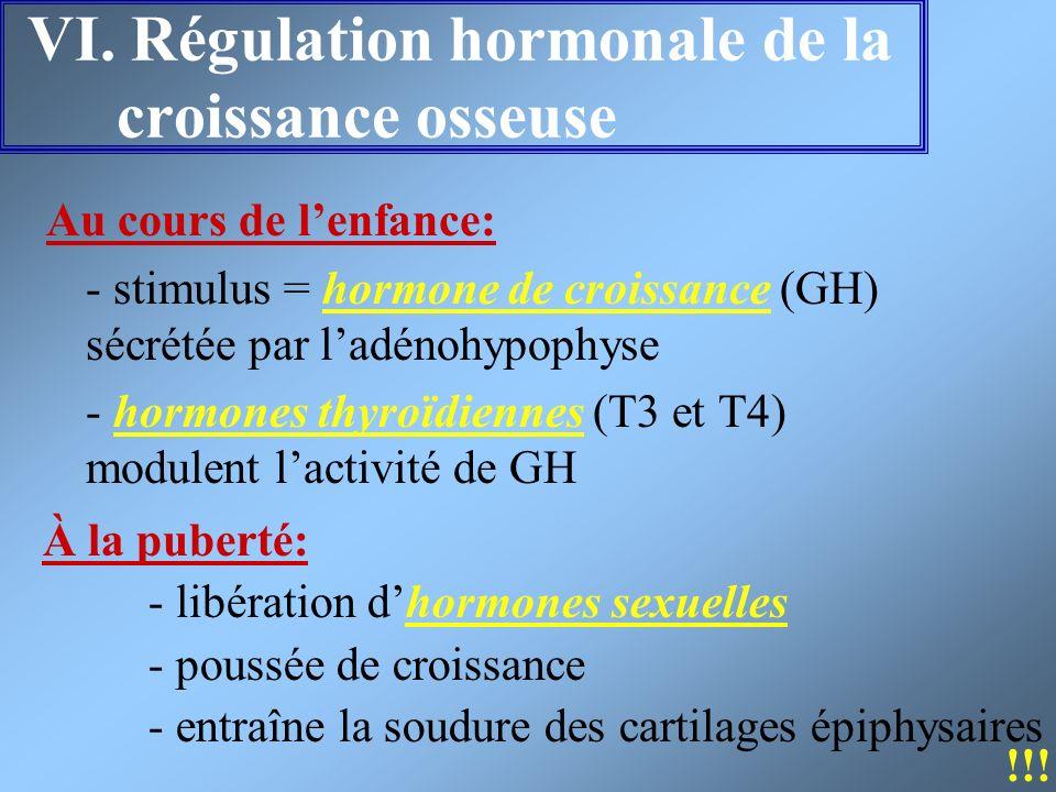 VI. Régulation hormonale de la croissance osseuse Au cours de lenfance: - stimulus = hormone de croissance (GH) sécrétée par ladénohypophyse - hormone