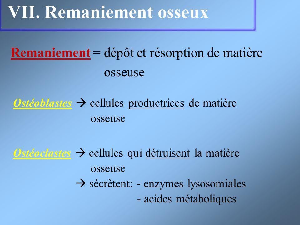 VII. Remaniement osseux Remaniement = dépôt et résorption de matière osseuse Ostéoblastes cellules productrices de matière osseuse Ostéoclastes cellul