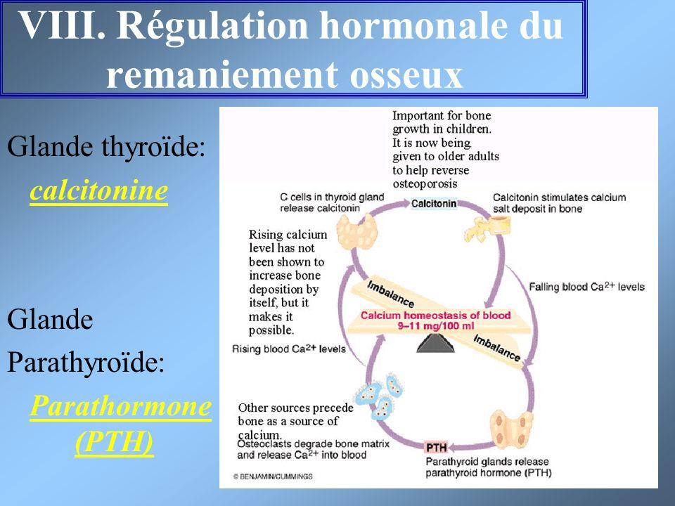 VIII. Régulation hormonale du remaniement osseux Glande thyroïde: calcitonine Glande Parathyroïde: Parathormone (PTH)