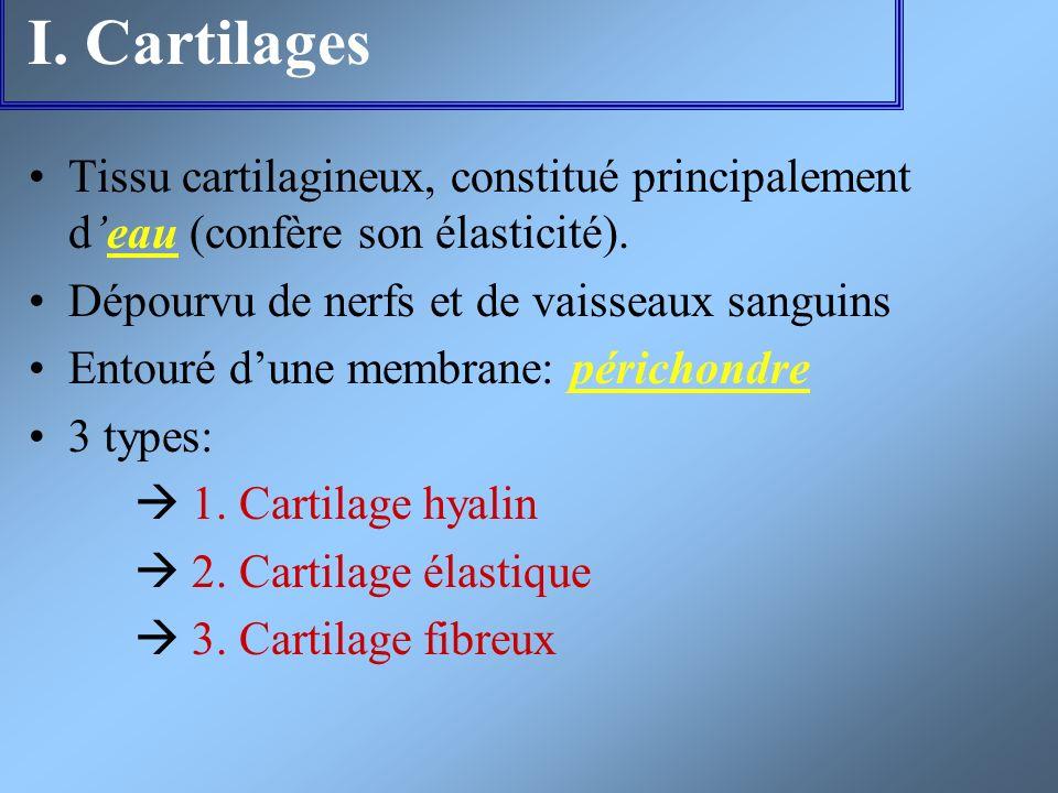 I. Cartilages Tissu cartilagineux, constitué principalement deau (confère son élasticité). Dépourvu de nerfs et de vaisseaux sanguins Entouré dune mem