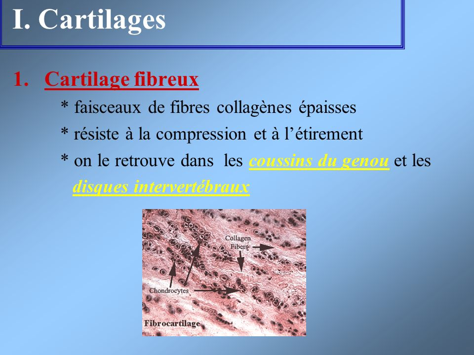 I. Cartilages 1.Cartilage fibreux * faisceaux de fibres collagènes épaisses * résiste à la compression et à létirement * on le retrouve dans les couss