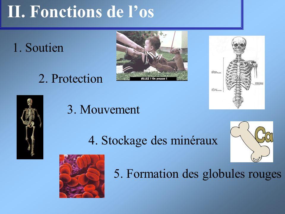 II. Fonctions de los 1. Soutien 2. Protection 3. Mouvement 4. Stockage des minéraux 5. Formation des globules rouges