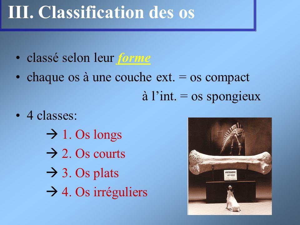 III. Classification des os classé selon leur forme chaque os à une couche ext. = os compact à lint. = os spongieux 4 classes: 1. Os longs 2. Os courts