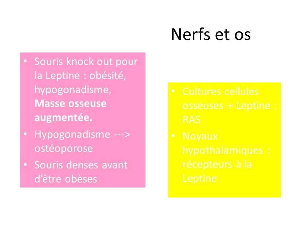 Nerfs et os Souris knock out pour la Leptine : obésité, hypogonadisme, Masse osseuse augmentée. Hypogonadisme ---> ostéoporose Souris denses avant dêt