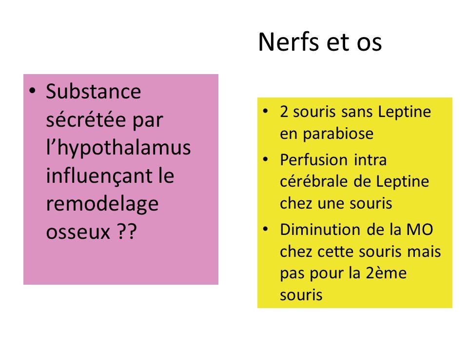 Nerfs et os Souris Leptine - ont une activité du système sympathique basse Elles ne produisent pas de Noradrénaline Les souris Leptine - traités par Isoprotérénol perdent de la masse osseuse La perfusion de Leptine + Bêta bloquants ninduit pas de perte osseuse
