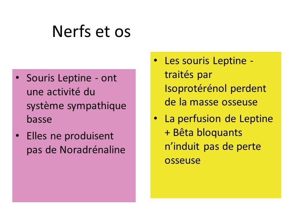 Nerfs et os Souris Leptine - ont une activité du système sympathique basse Elles ne produisent pas de Noradrénaline Les souris Leptine - traités par I