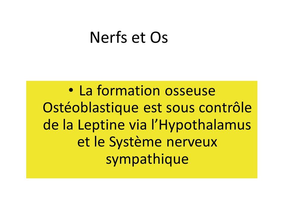 Nerfs et Os La formation osseuse Ostéoblastique est sous contrôle de la Leptine via lHypothalamus et le Système nerveux sympathique