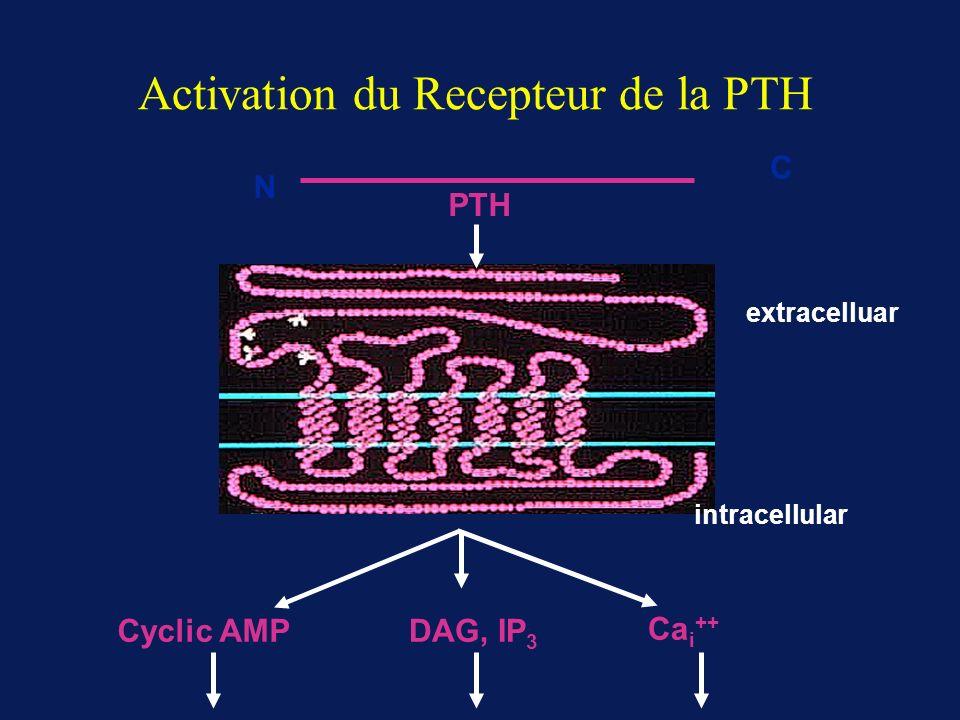Activation du Recepteur de la PTH Cyclic AMPDAG, IP 3 Ca i ++ C PTH N extracelluar intracellular