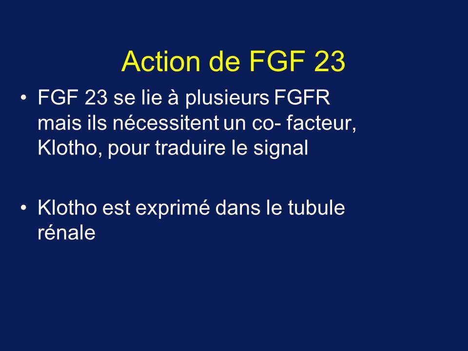 Action de FGF 23 FGF 23 se lie à plusieurs FGFR mais ils nécessitent un co- facteur, Klotho, pour traduire le signal Klotho est exprimé dans le tubule rénale