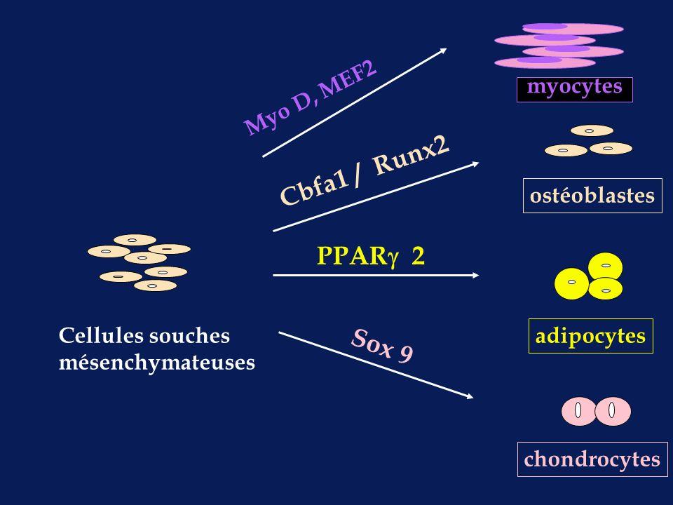 ostéoblastes adipocytes chondrocytes Cellules souches mésenchymateuses Cbfa1 / Runx2 PPAR 2 Sox 9 myocytes Myo D, MEF2