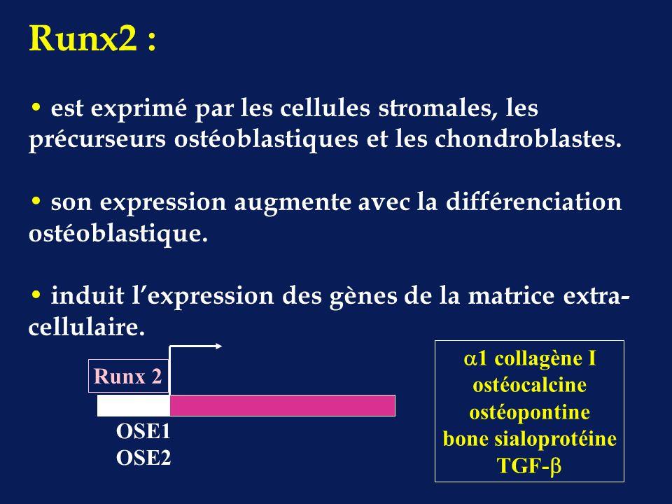 1 collagène I ostéocalcine ostéopontine bone sialoprotéine TGF- OSE1 OSE2 Runx 2 Runx2 : est exprimé par les cellules stromales, les précurseurs ostéoblastiques et les chondroblastes.
