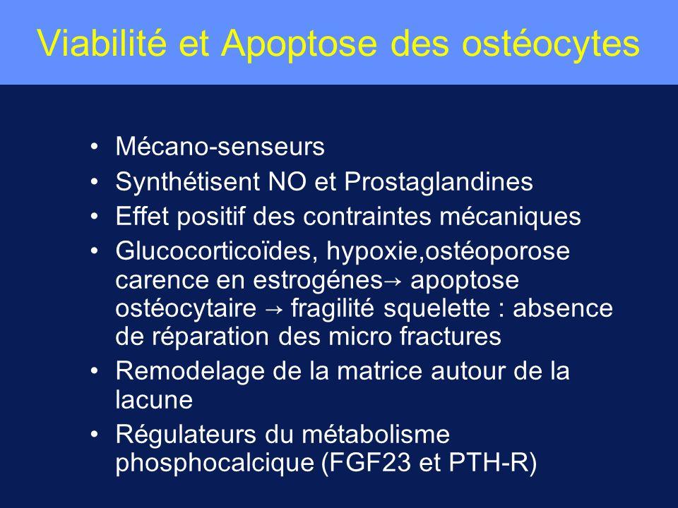 Viabilité et Apoptose des ostéocytes M é cano-senseurs Synth é tisent NO et Prostaglandines Effet positif des contraintes m é caniques Glucocortico ï