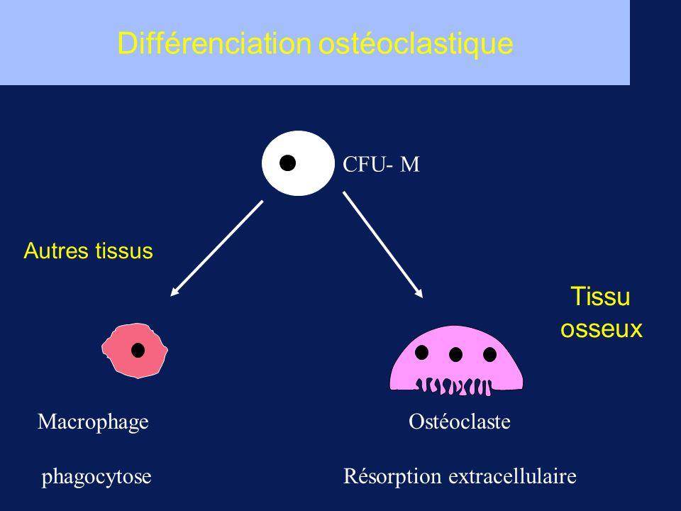Différenciation ostéoclastique Macrophage phagocytose Ostéoclaste Résorption extracellulaire CFU- M Tissu osseux Autres tissus